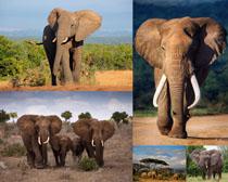 野外动物大象摄影时时彩娱乐网站