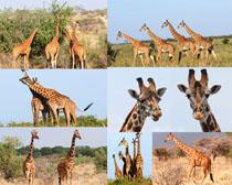 森林长颈鹿摄影时时彩娱乐网站