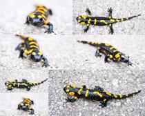 蜥蜴动物摄影时时彩娱乐网站