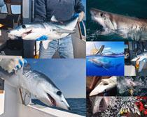 凶猛的鲨鱼摄影时时彩娱乐网站