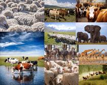 大象羊长颈鹿动物摄影时时彩娱乐网站