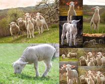 可爱小羊羔摄影时时彩娱乐网站