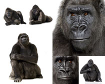 黑猩猩摄影时时彩娱乐网站