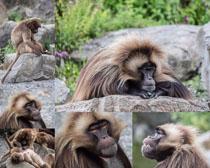 石猴动物摄影时时彩娱乐网站