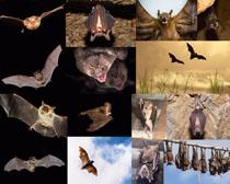 吸血蝙蝠摄影时时彩娱乐网站