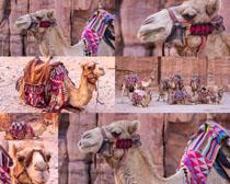 骆驼动物拍摄时时彩娱乐网站