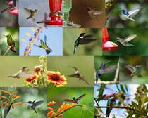 采蜜飞鸟摄影高清图片