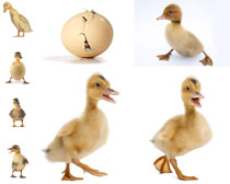 可爱小鸭拍摄时时彩娱乐网站