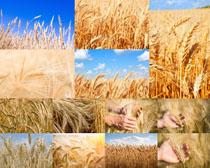麦子稻田摄影高清图片