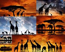 夕阳下的动物摄影时时彩娱乐网站