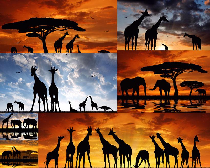 夕阳下的动物摄影高清图片