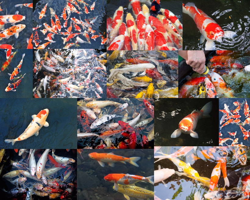 池塘金鱼摄影时时彩娱乐网站