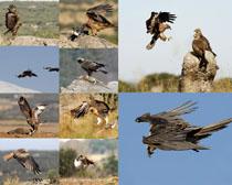 飞翔的老鹰拍摄时时彩娱乐网站