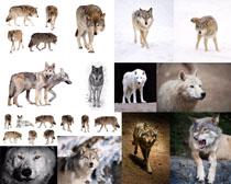 狼动物拍摄时时彩娱乐网站