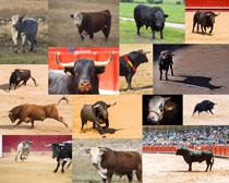 西部牛动物摄影时时彩娱乐网站
