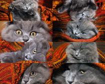 灰色猫咪摄影时时彩娱乐网站