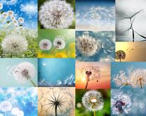 蒲公英植物摄影高清图片