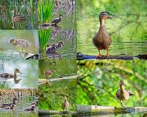 水中的鸭子摄影时时彩娱乐网站