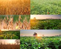 稻田植物摄影高清图片