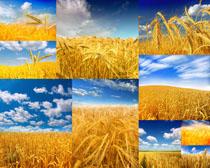 金黄稻田摄影高清图片