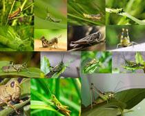昆虫蚂蚱摄影时时彩娱乐网站
