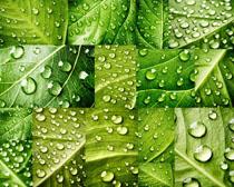 绿叶水珠摄影高清图片
