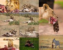 狮子猎豹捕食摄影时时彩娱乐网站