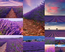 美丽薰衣草风景摄影高清图片