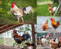 草地公鸡摄影时时彩娱乐网站