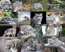 南美豹子摄影高清图片