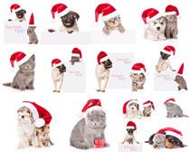 圣诞帽猫咪狗摄影高清图片