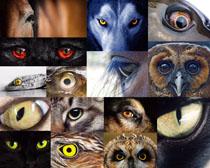 动物眼晴摄影高清图片