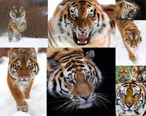 动物老虎摄影时时彩娱乐网站