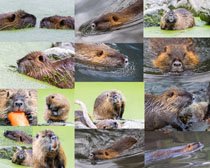 美洲鼠动物摄影高清图片