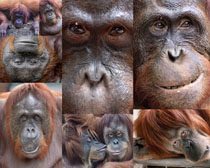 大猩猩动物摄影高清图片