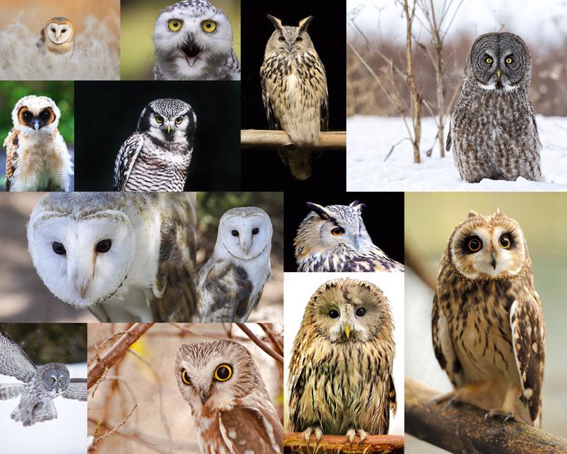 神秘的猫头鹰摄影高清图片