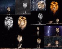 狮子头部摄影高清图片