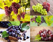 新鲜葡萄展示摄影高清图片