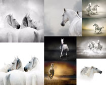 白色马摄影高清图片