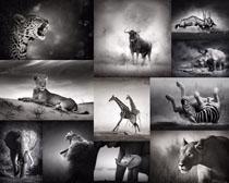 动物黑白照片摄影时时彩娱乐网站