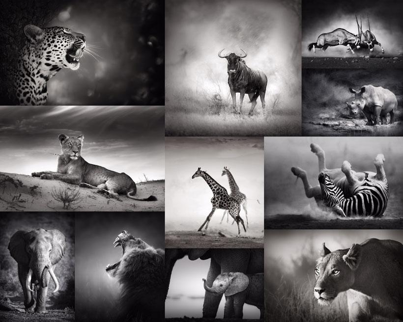 动物黑白照片摄影红馆娱乐网址