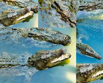 水中鳄鱼摄影时时彩娱乐网站