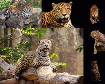 美洲豹子摄影时时彩娱乐网站