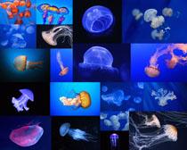 海底水母摄影高清图片