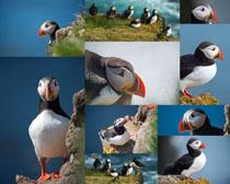 角嘴海雀动物摄影时时彩娱乐网站