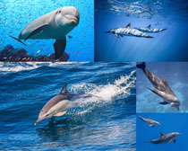 蓝色海洋海豚摄影高清图片