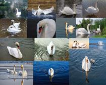 水中白色鹅摄影高清图片