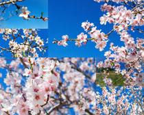 春天梅花拍摄高清图片