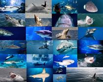 海底鲨鱼拍摄高清图片