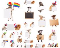 聪明宠物狗狗摄影高清图片